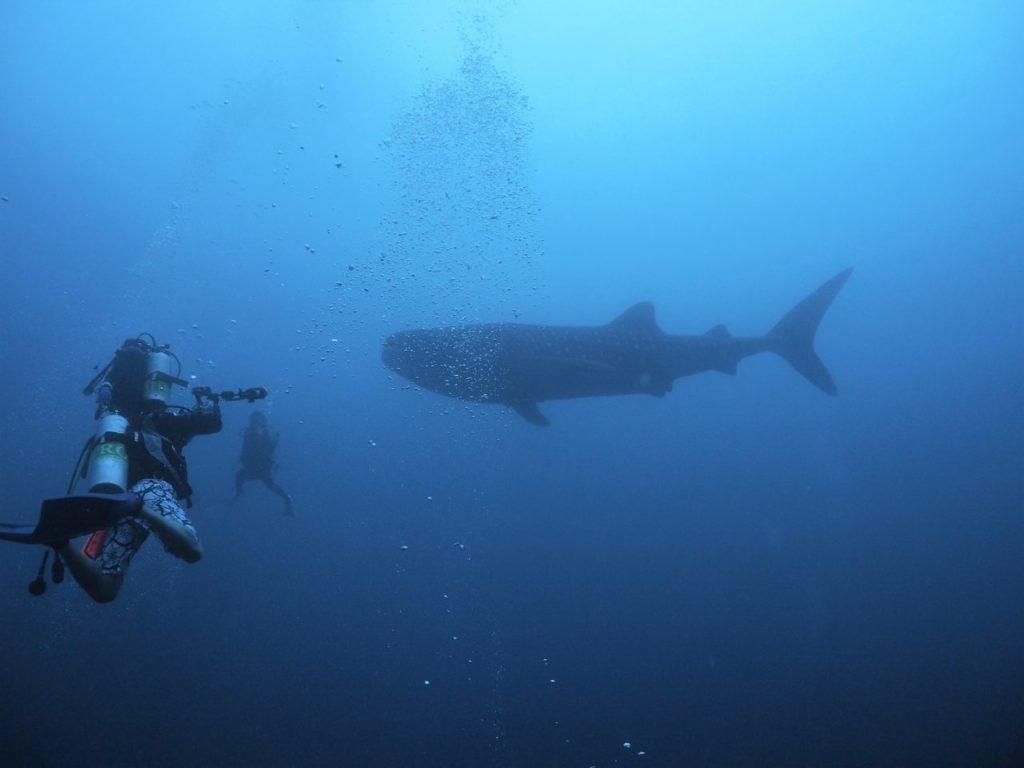 モルディブ・アリ環礁のマーミギリ・アウトリーフで遭遇したジンベエザメ