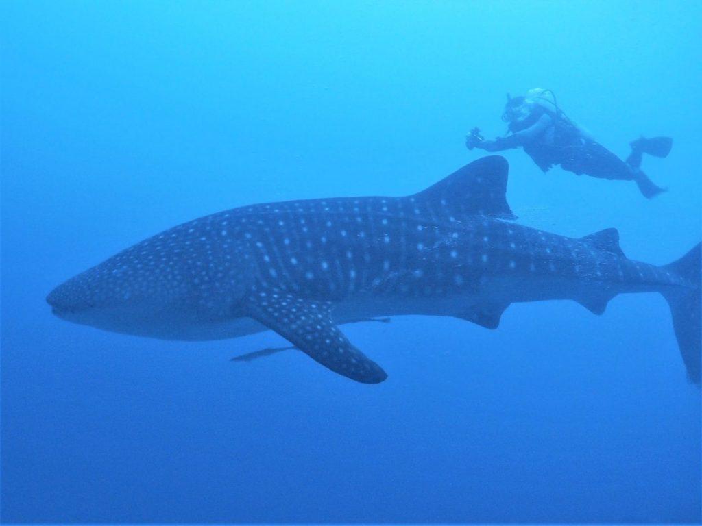モルディブ・アリ環礁のマーミギリ・アウトリーフで遭遇したジンベエザメと泳ぐ