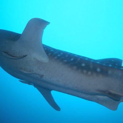 モルディブダイビング2日目-南アリ環礁でジンベエとマンタ発見!