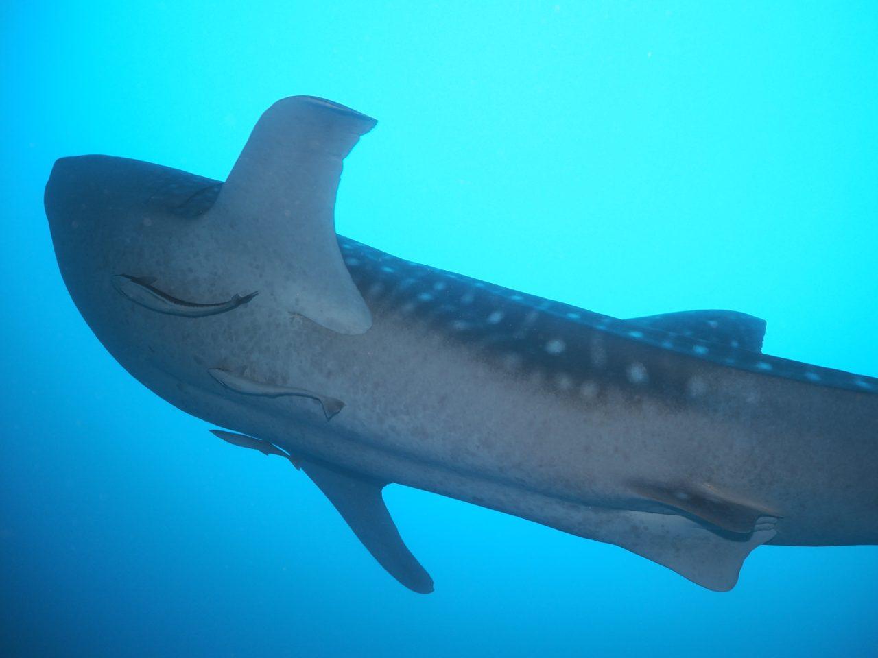 モルディブ・アリ環礁のマーミギリ・アウトリーフで遭遇したジンベエザメを下から撮影