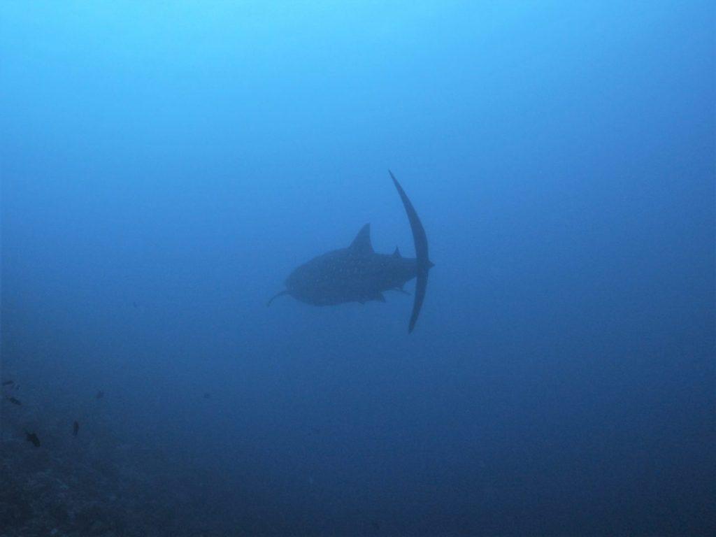 モルディブ・アリ環礁のマーミギリ・アウトリーフで遭遇したジンベエザメが遠くへ泳いでいく姿