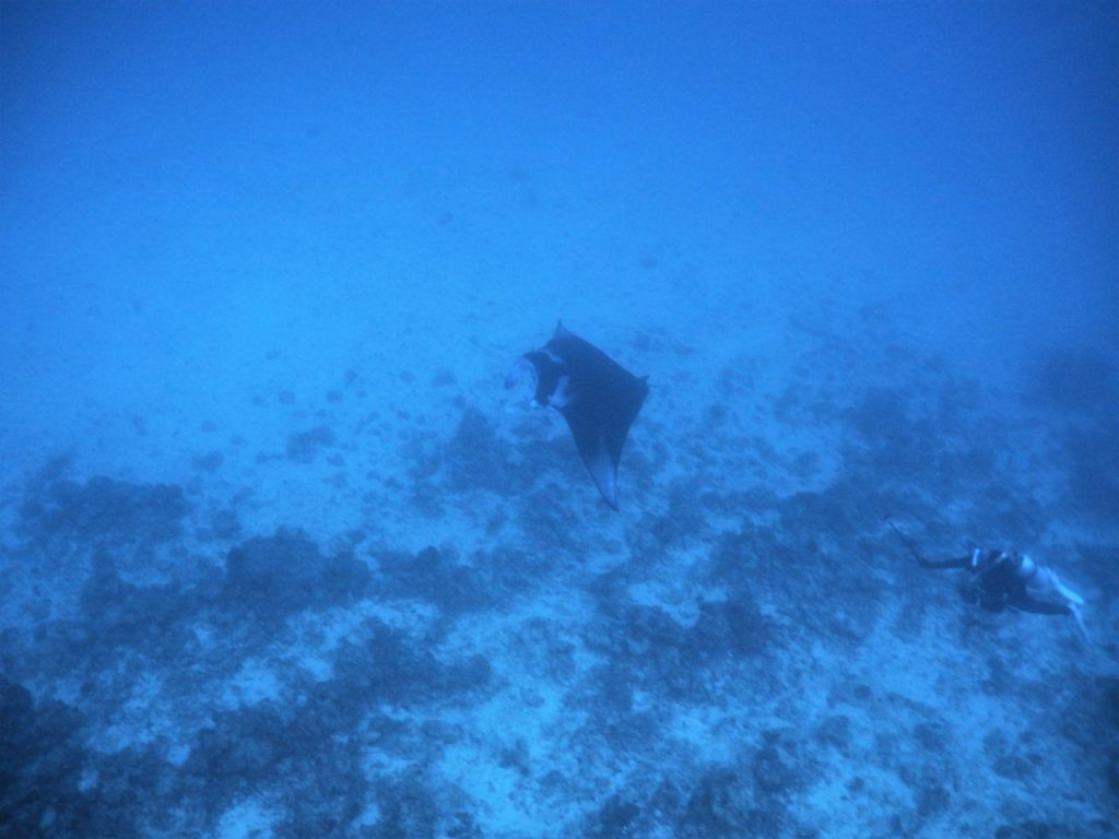 モルディブ・アリ環礁のマーミギリ・アウトリーフでエグジット直前に見たマンタ