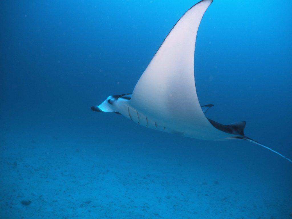 モルディブ・アリ環礁のマーミギリ・アウトリーフでエグジット直前に見たマンタを横から撮影