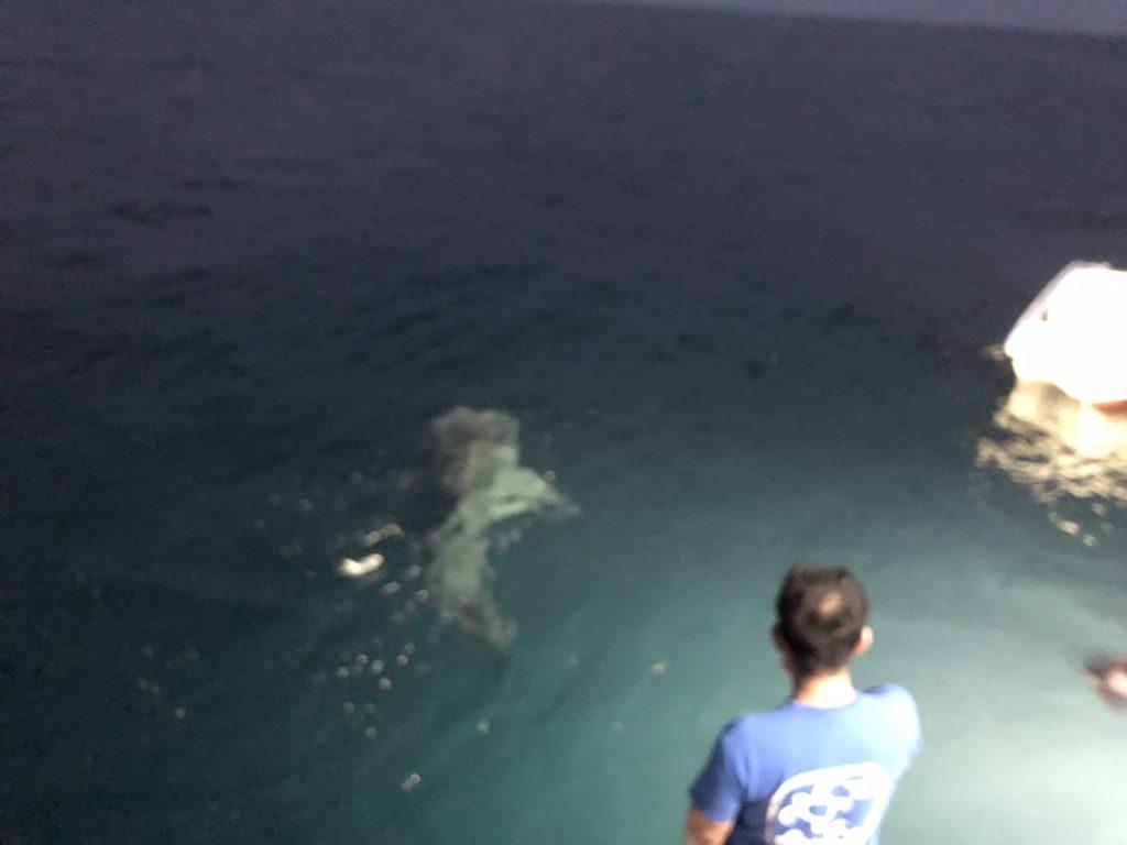 モルディブ・アリ環礁のマーミギリ・アウトリーフで船の上から見たジンベエザメ