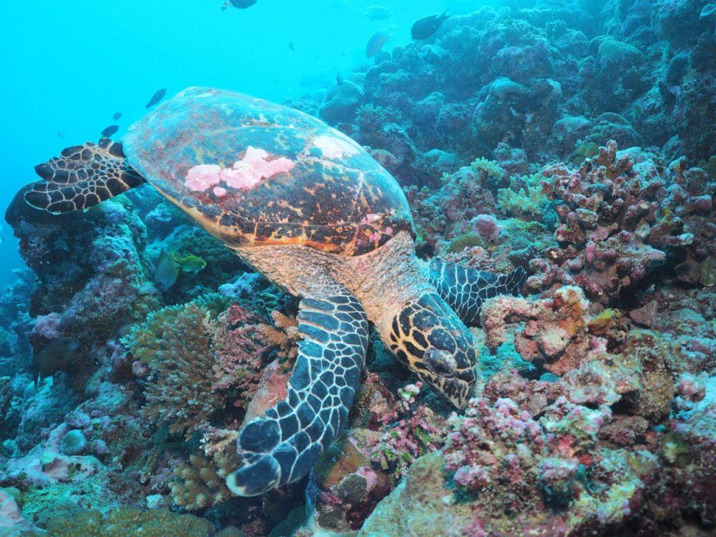 モルディブ・アリ環礁のランガリ・マディバルで遭遇したカメ