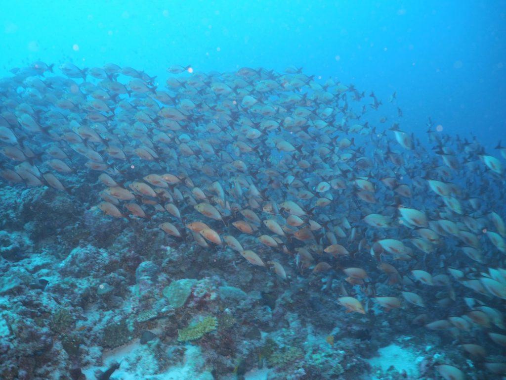 モルディブ・アリ環礁のブラー・ティラで遭遇したヒメフエダイの群れ
