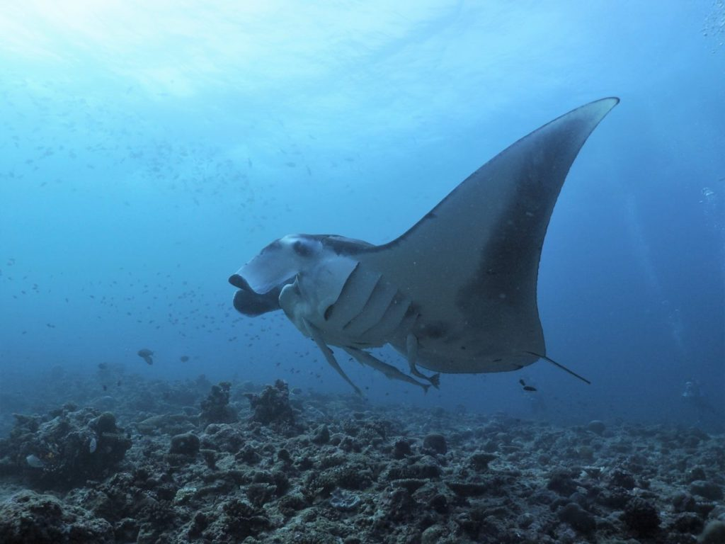 モルディブ・アリ環礁のランガリ・マディバルでクリーニング中のマンタ