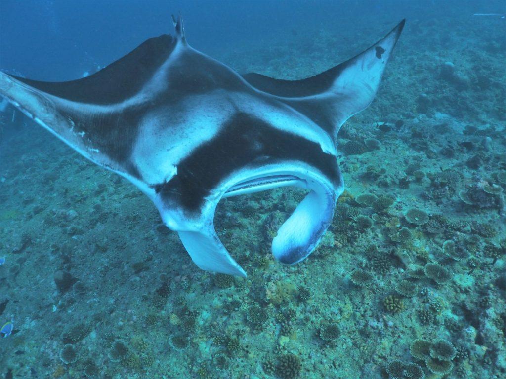 モルディブ・アリ環礁のランガリ・マディバルで接近してきたマンタ