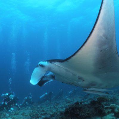 モルディブダイビング3日目-アリ環礁でマンタの群れに遭遇!
