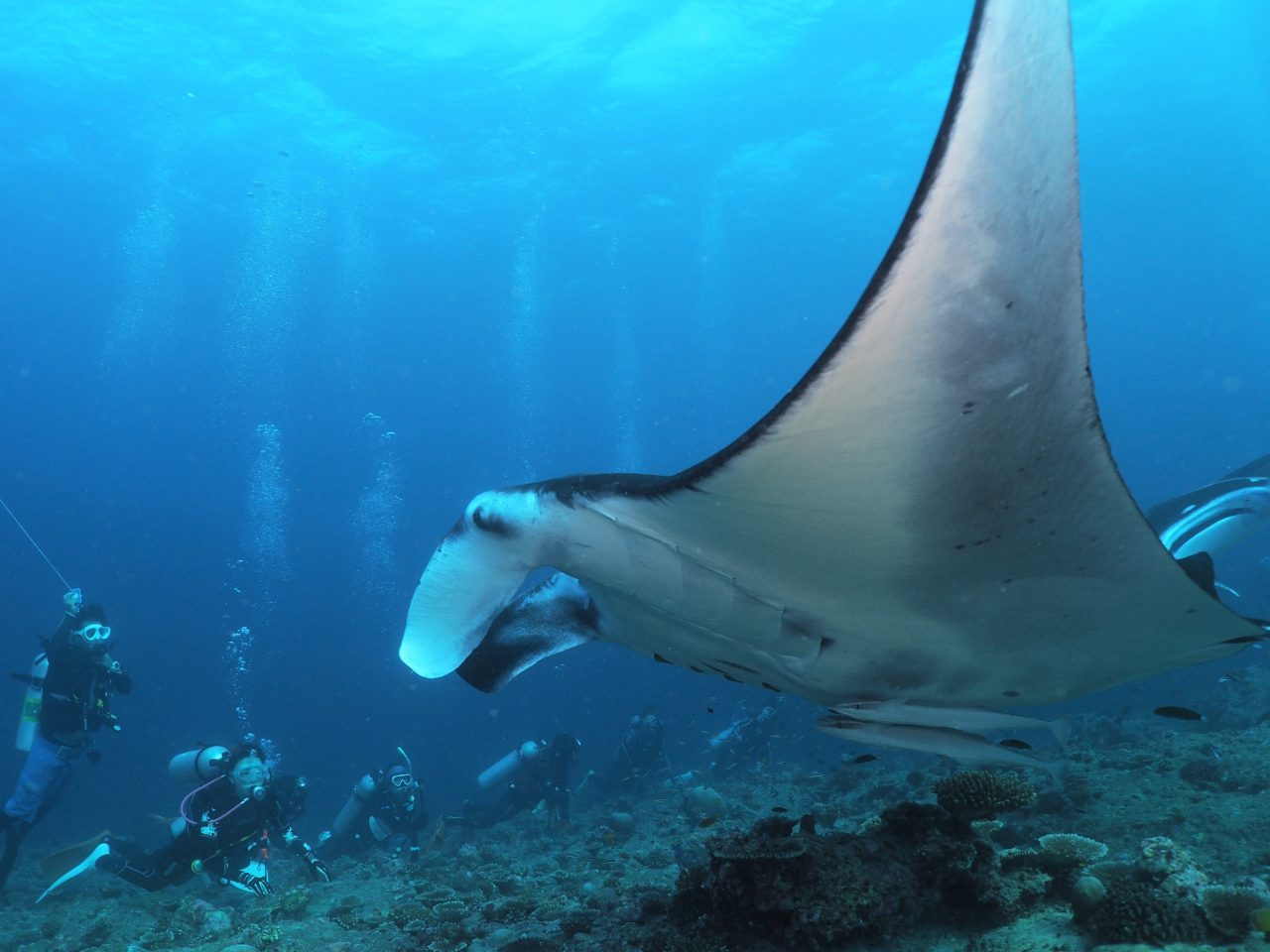 モルディブ・アリ環礁のランガリ・マディバルでマンタの接写