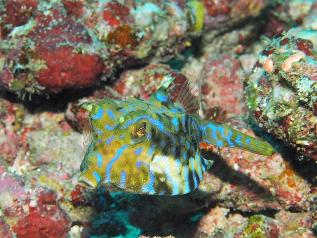 モルディブ・アリ環礁のブラー・ティラにいたシマウミスズメ