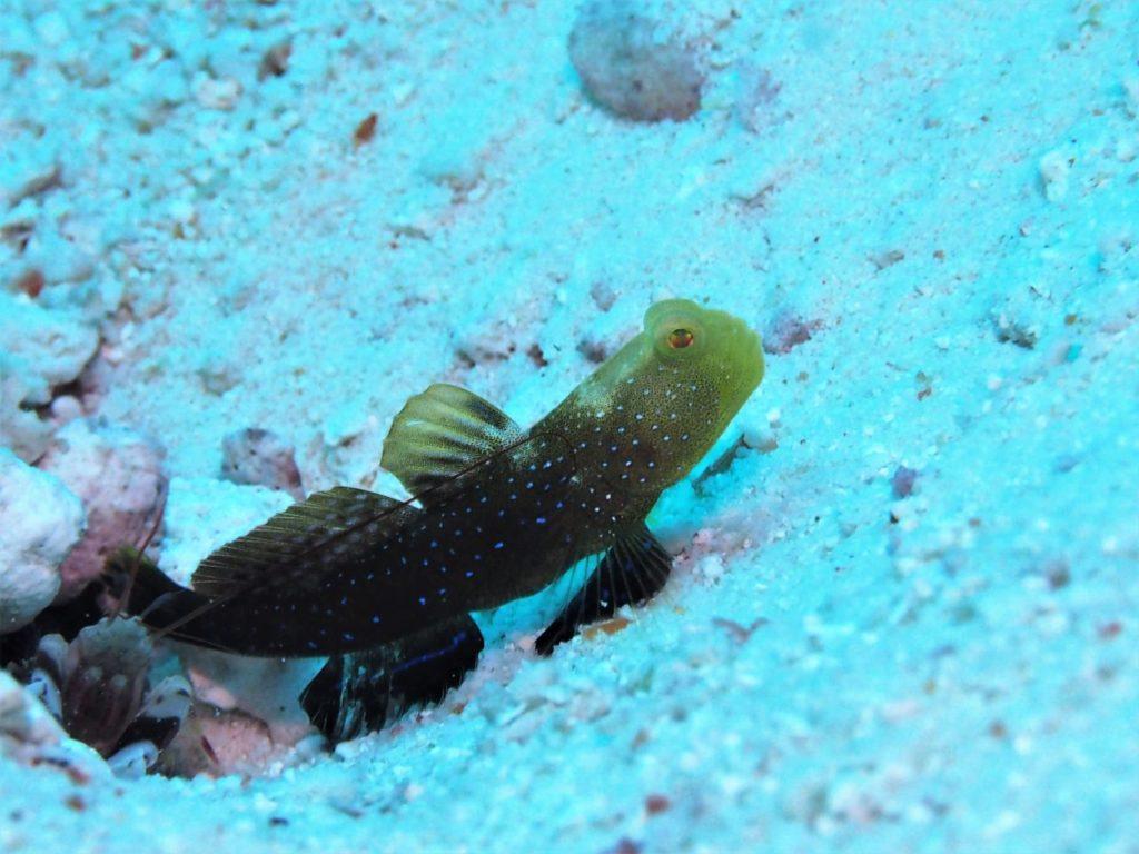 モルディブ・アリ環礁のリーティ・ティラにいたギンガハゼ