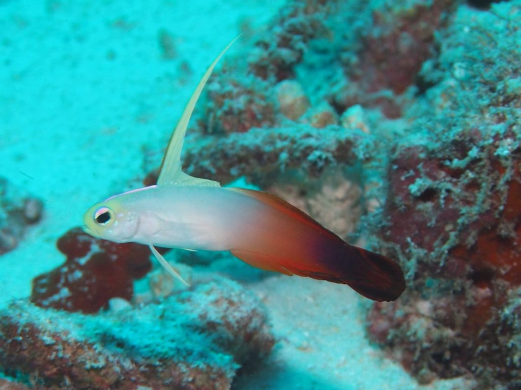モルディブ・アリ環礁のリーティ・ティラにいたハタタテハゼ