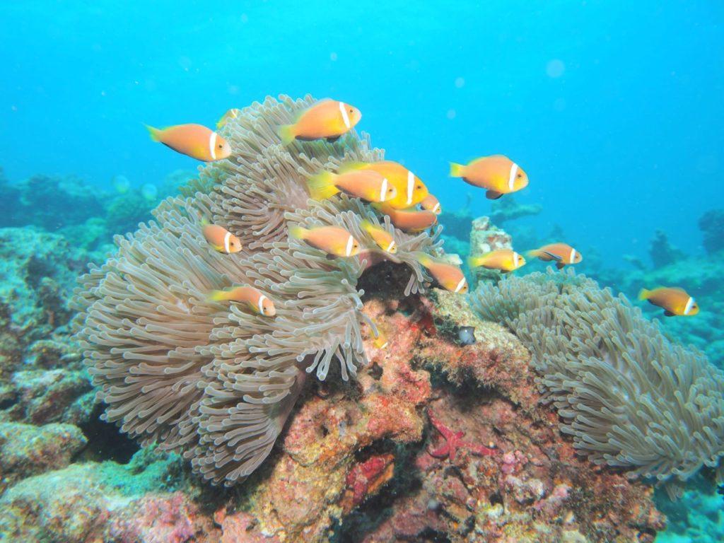 モルディブ・アリ環礁のリーティ・ティラにいたモルディブアネモネフィッシュ