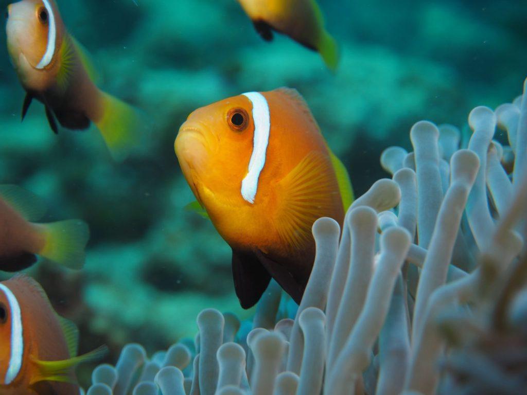 モルディブ・アリ環礁のリーティ・ティラにいたモルディブアネモネフィッシュの拡大写真