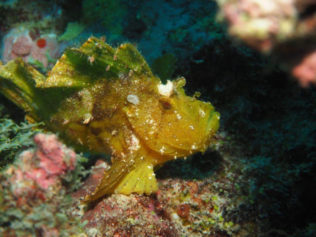 モルディブ・アリ環礁のリーティ・ティラにいたハダカハオコゼ