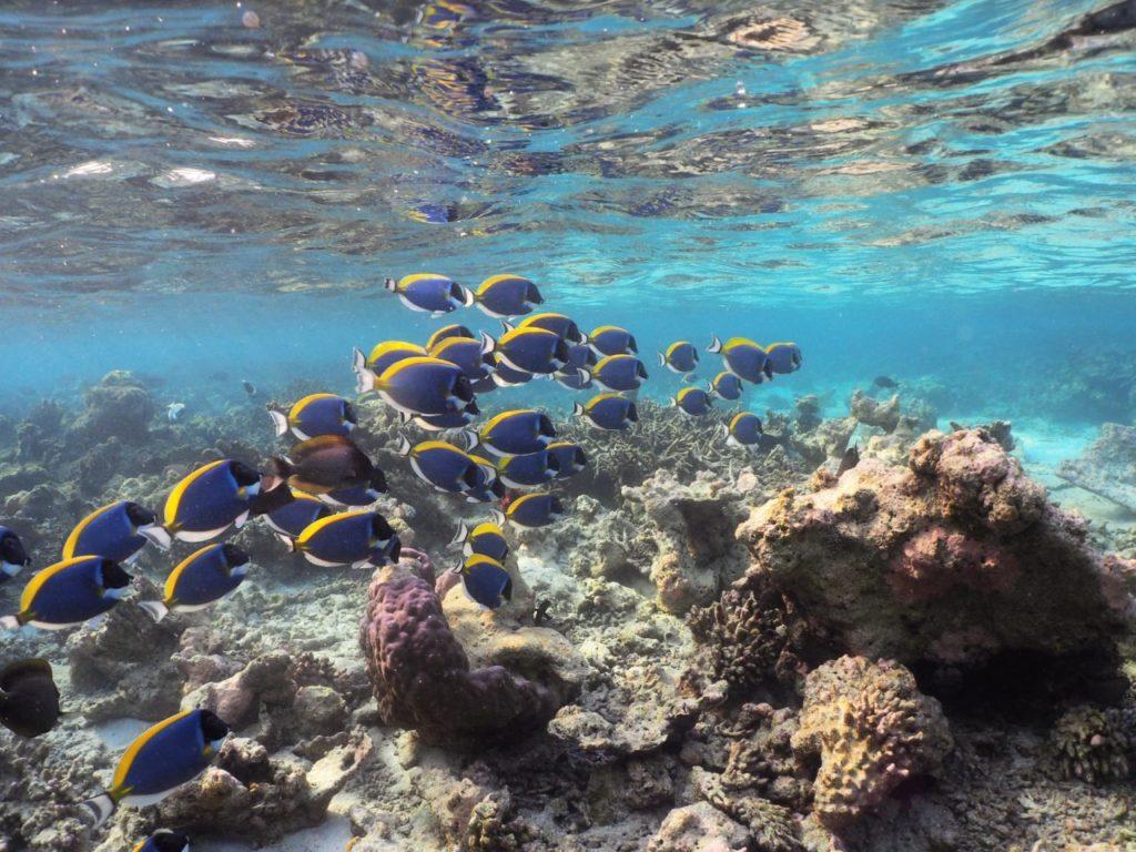 モルディブ・アリ環礁の無人島にいたパウダーブルーサージョンフィッシュの群れ