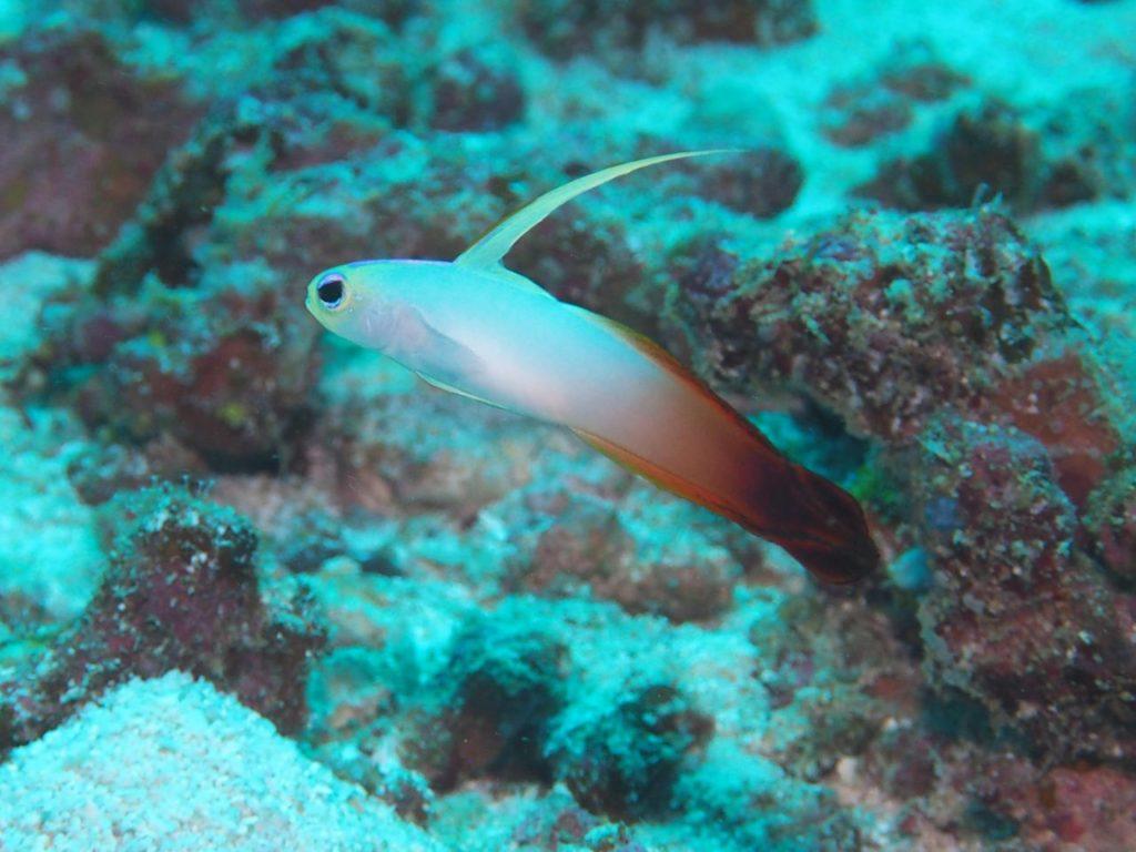 モルディブ・アリ環礁のブラー・ティラにいたハタタテハゼ