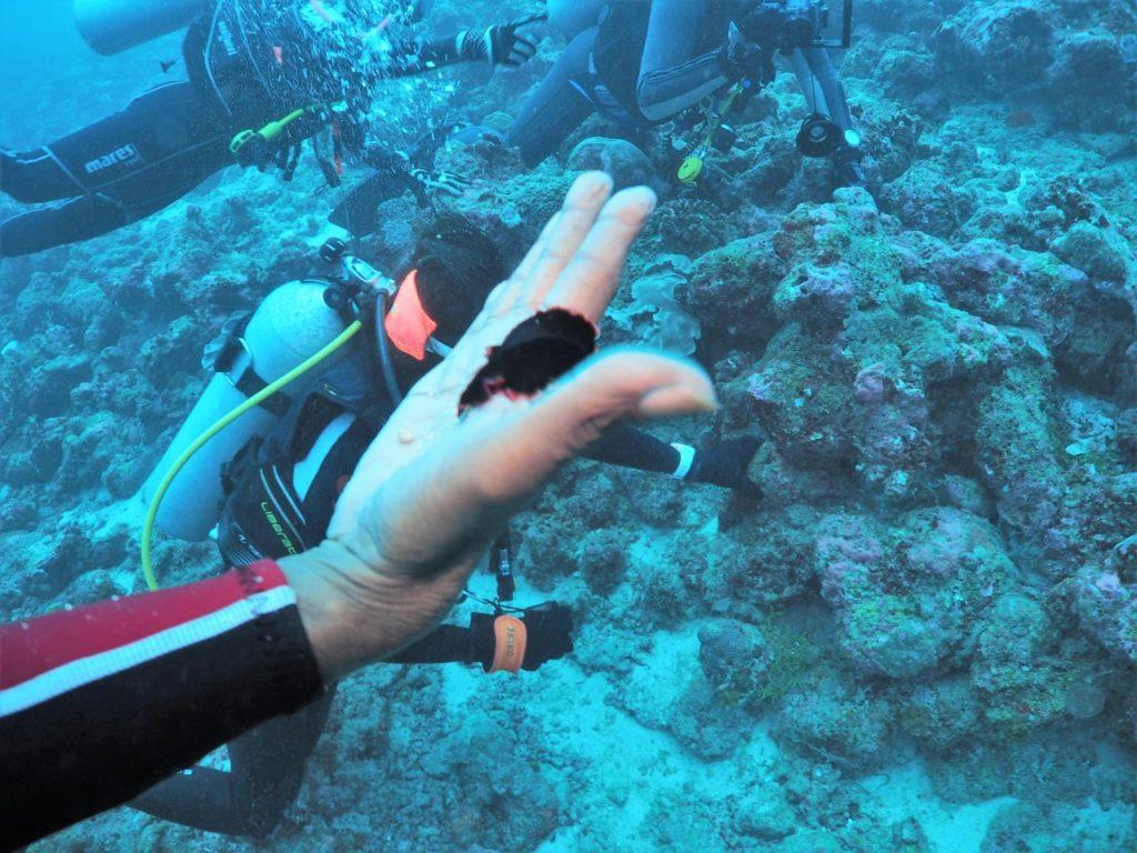 モルディブ・アリ環礁のムーフシ・ロックでマンタ舞う中見つけたヒラムシ
