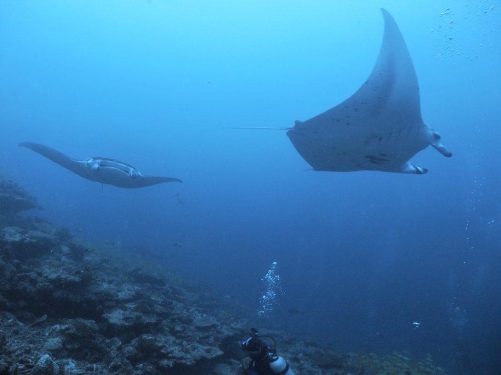 モルディブ・アリ環礁のムーフシ・ロックで羽ばたくマンタ
