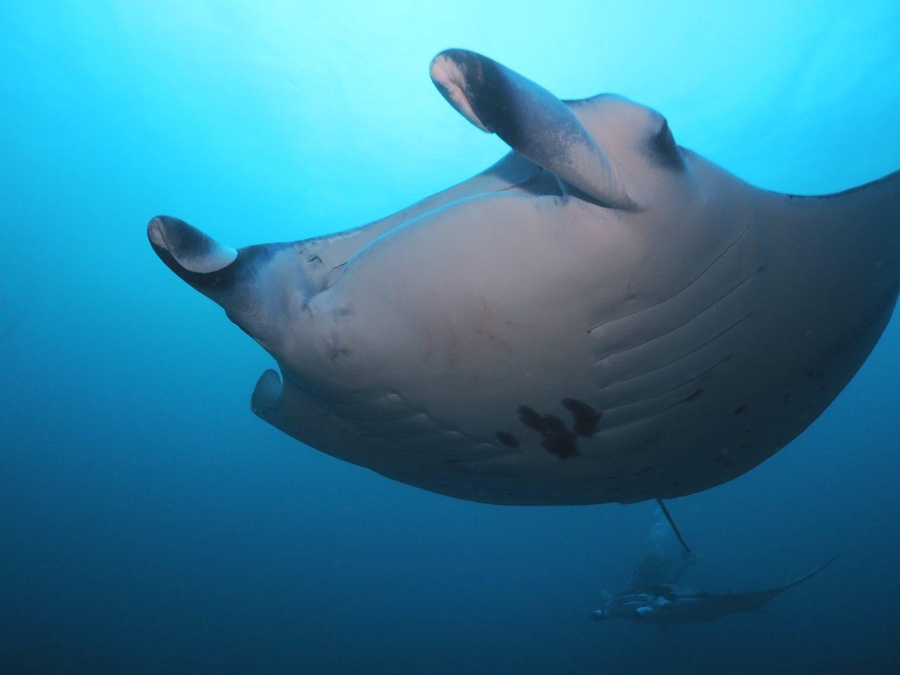 モルディブ・アリ環礁のムーフシ・ロックで大迫力のマンタ