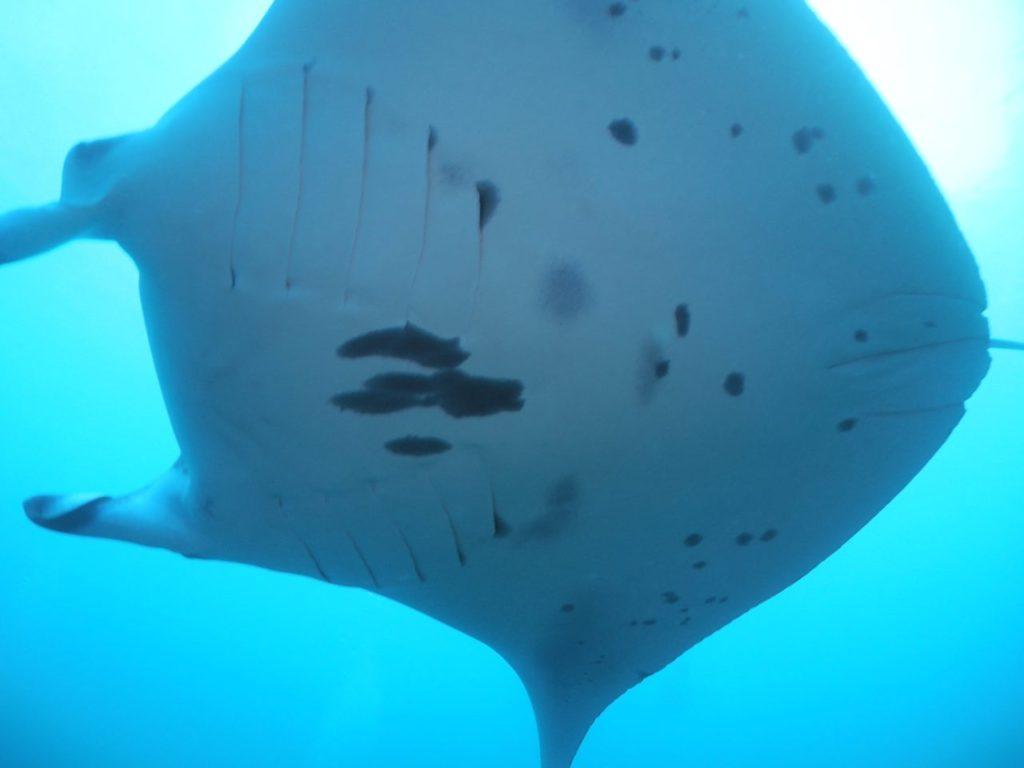 モルディブ・アリ環礁のムーフシ・ロックにいたマンタのお腹