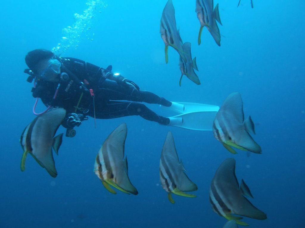 モルディブ・アリ環礁のデガ・ティラにいた人懐っこいツバメウオ