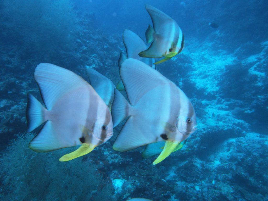 モルディブ・アリ環礁のデガ・ティラにいたツバメウオの群れ