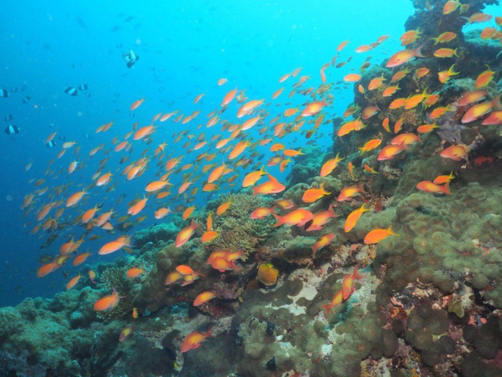 モルディブ・アリ環礁のデガ・ティラで輝くハナダイの群れ