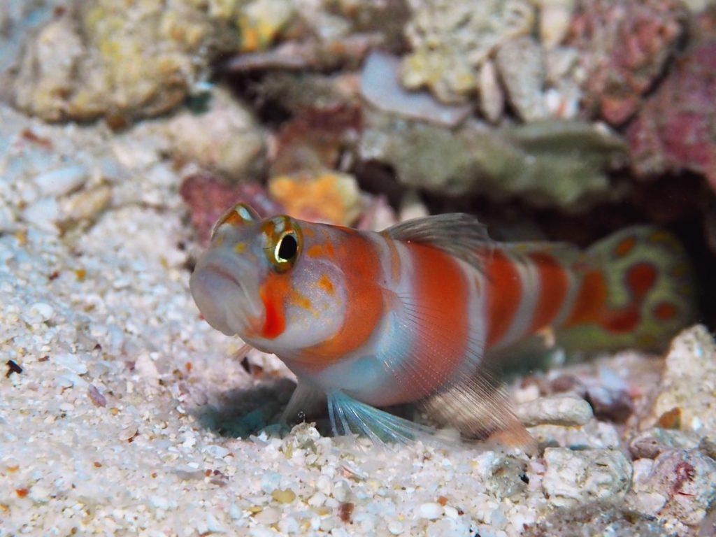 モルディブ・アリ環礁のフェスドゥ・レックで見つけたオーロラシュリンプゴビー