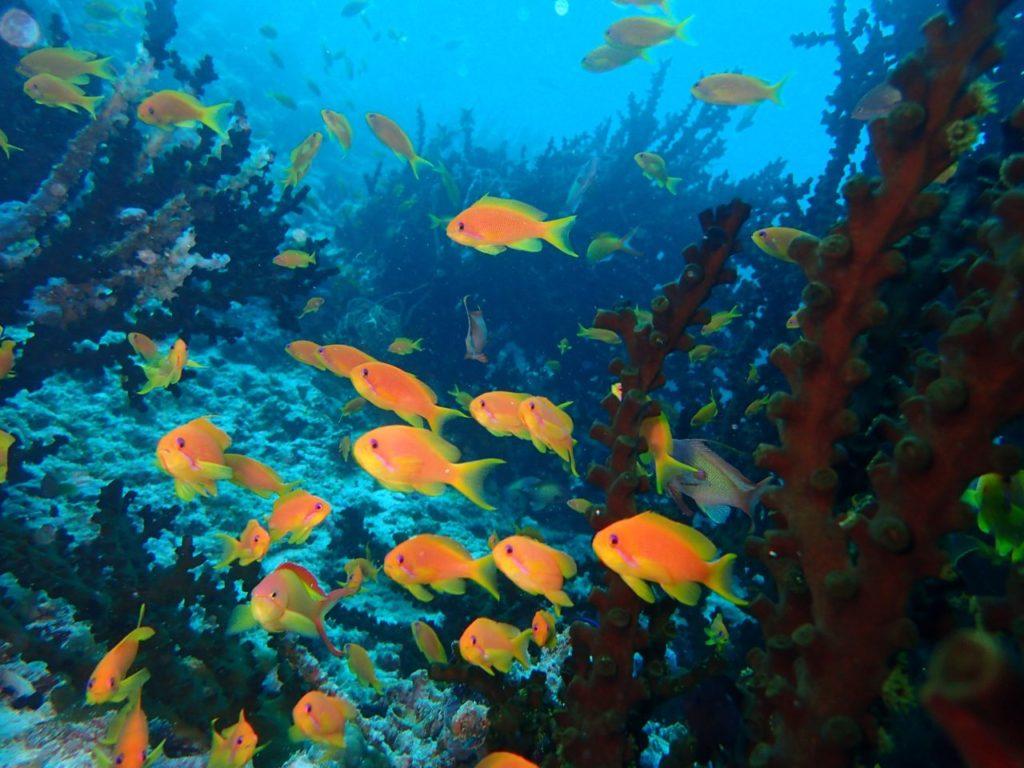 モルディブ・南マーレ環礁のヴァーガリ・ケーブス・ケーブスにいたハナダイの群れ