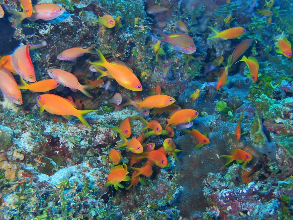 モルディブ・南マーレ環礁のヴェラサル・ケーブスにいたハナダイの群れ