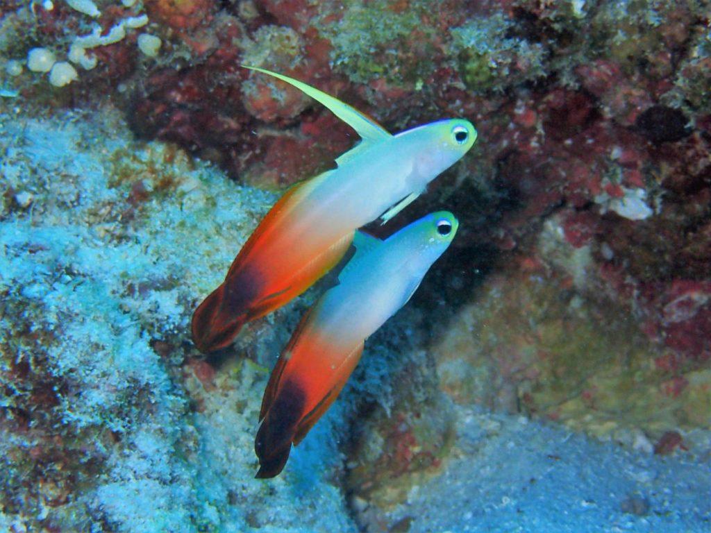 モルディブ・南マーレ環礁のヴェラサル・ケーブスにいたハタタテハゼ