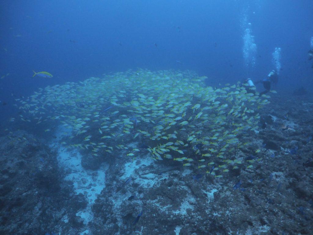 モルディブ・アリ環礁のフィッシュ・ヘッドで群れるベンガルスナッパー