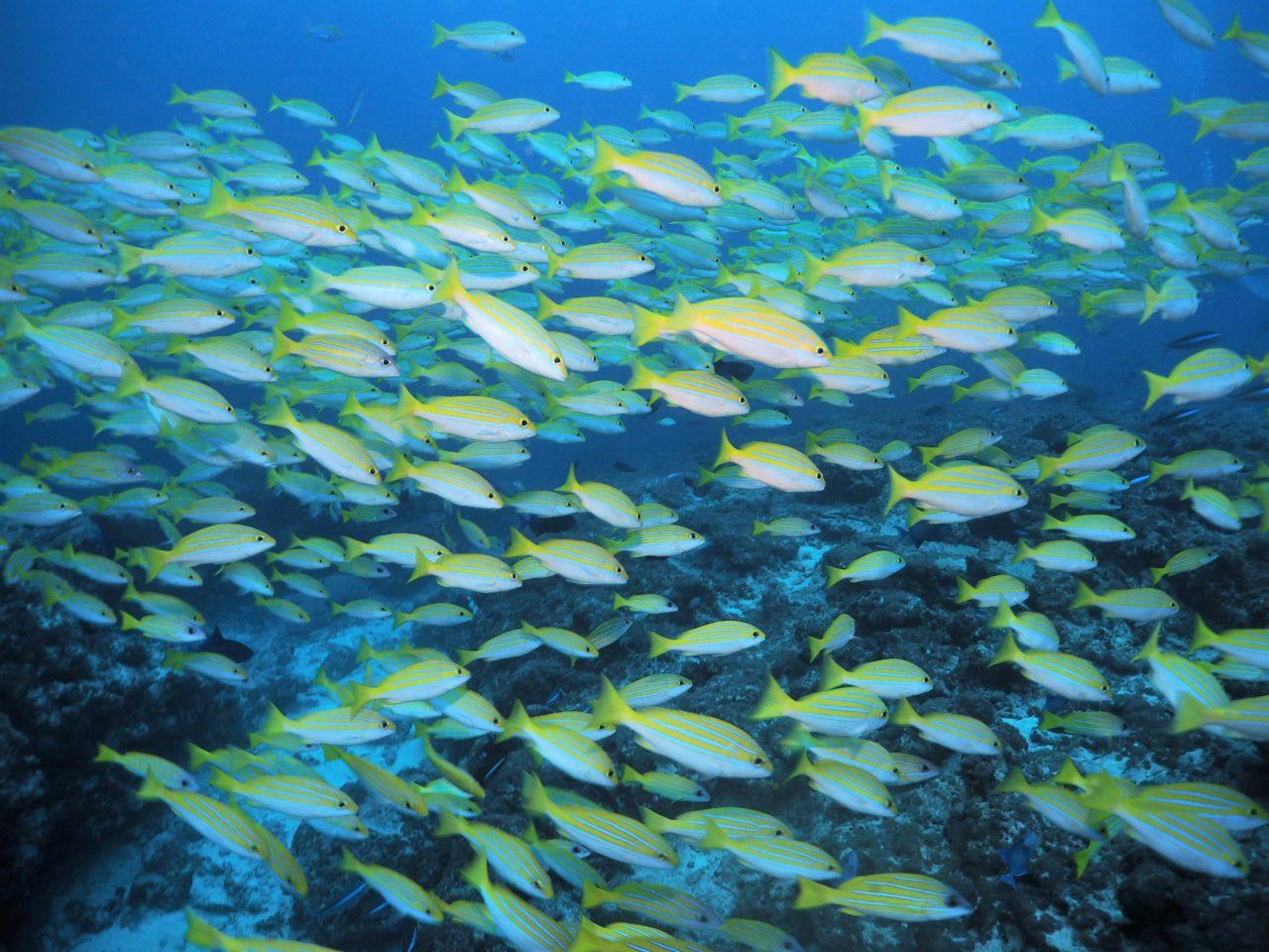 モルディブ・アリ環礁のフィッシュ・ヘッドで群れるベンガルスナッパーと並走