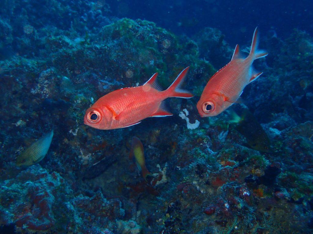モルディブ・南マーレ環礁のヴェラサル・ケーブスにいたアカマツカサ