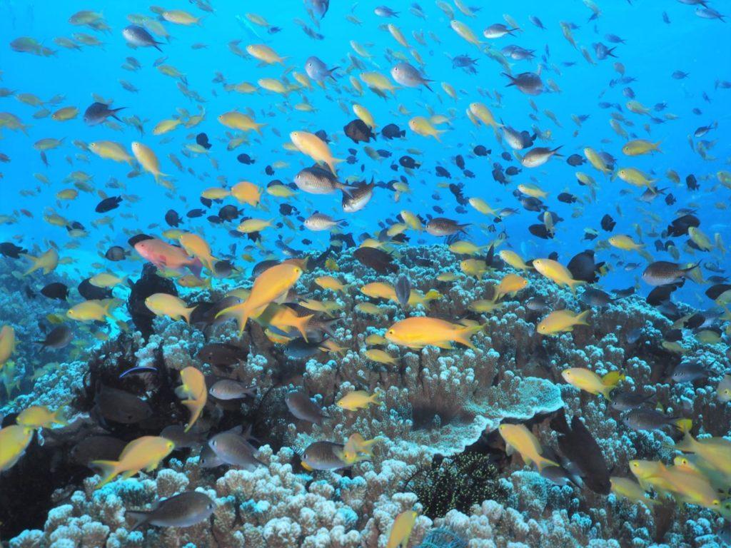 バリカサグ島のサンゴに群れるハナダイとスズメダイ