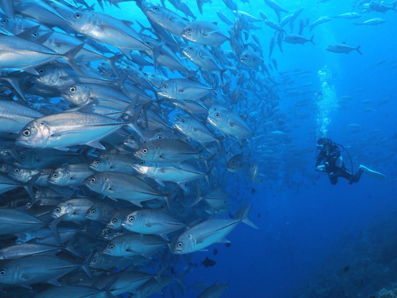 バリカサグ島のギンガメアジの壁を眺めるダイバー