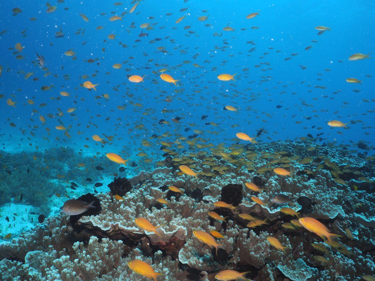 バリカサグ島のサンゴに群れるスズメダイ
