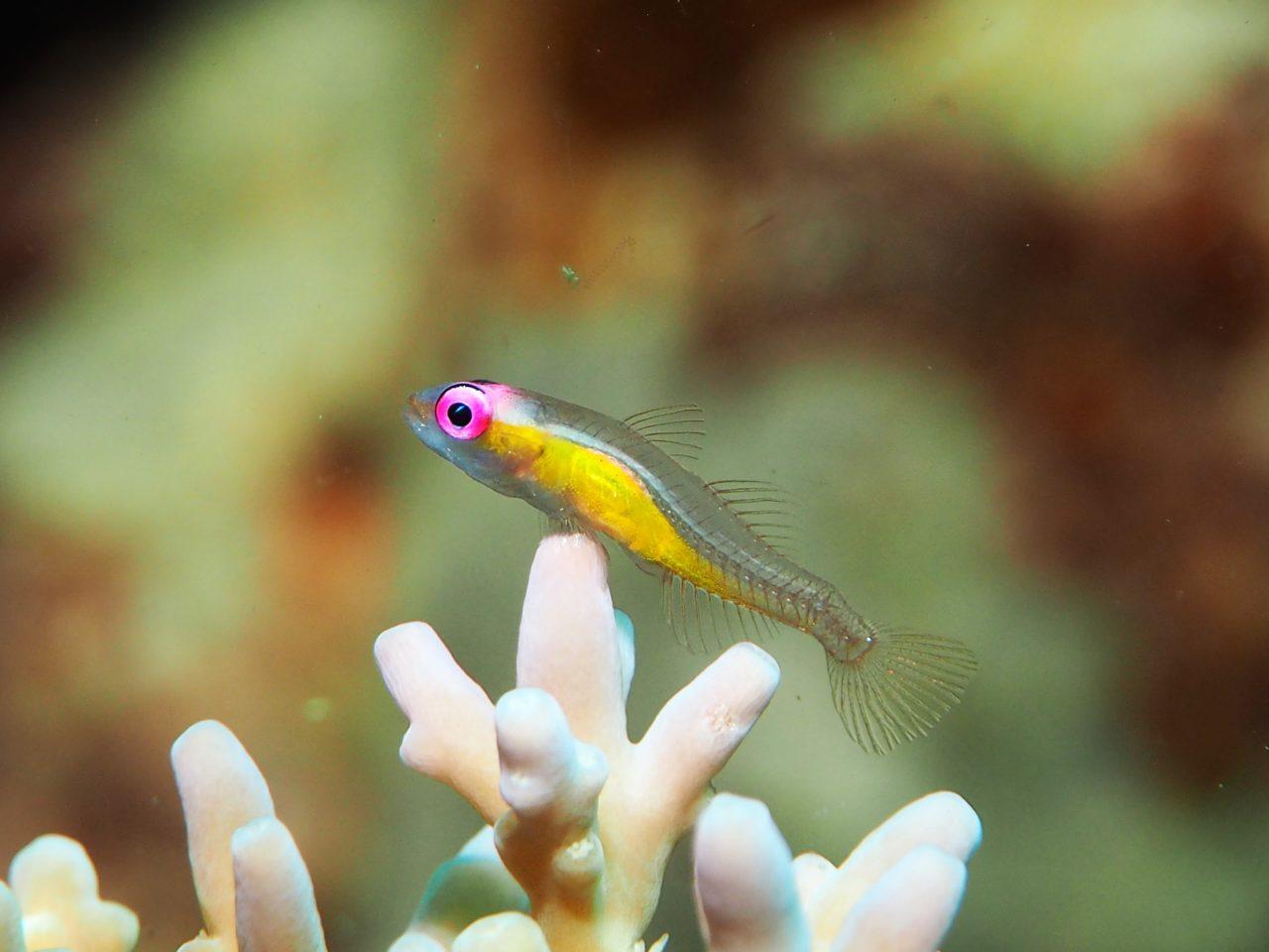 パングラオ島北の赤目ハゼ