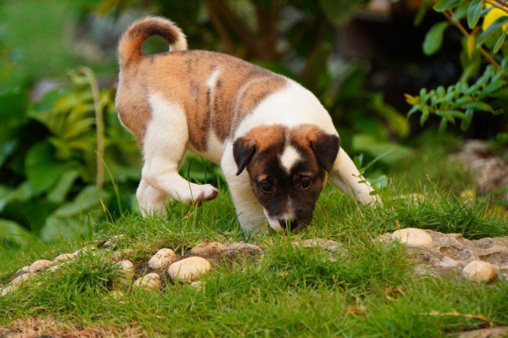 芝生で遊ぶノバビーチの子犬