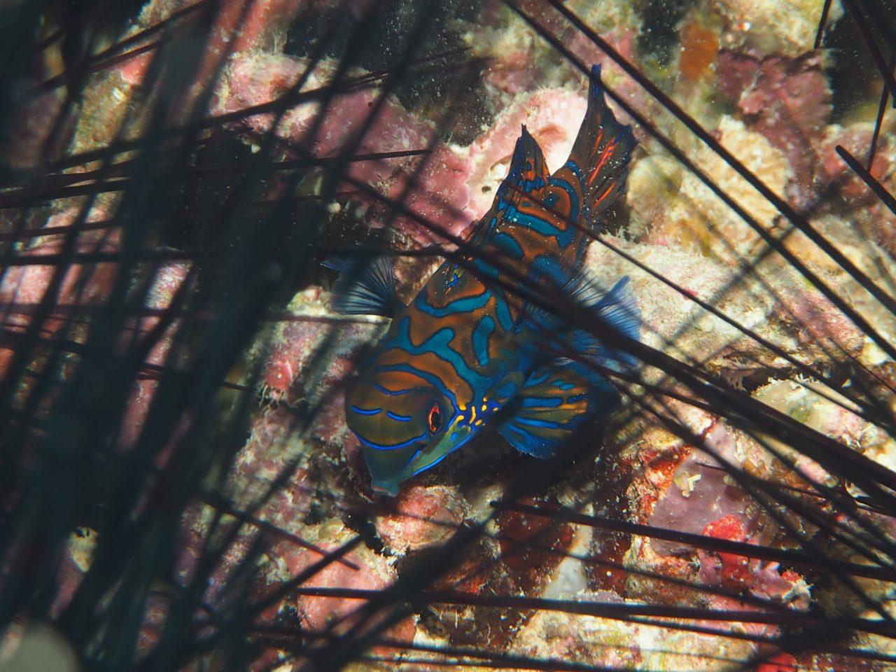 ノバビーチのハウスリーフにいるニシキテグリ