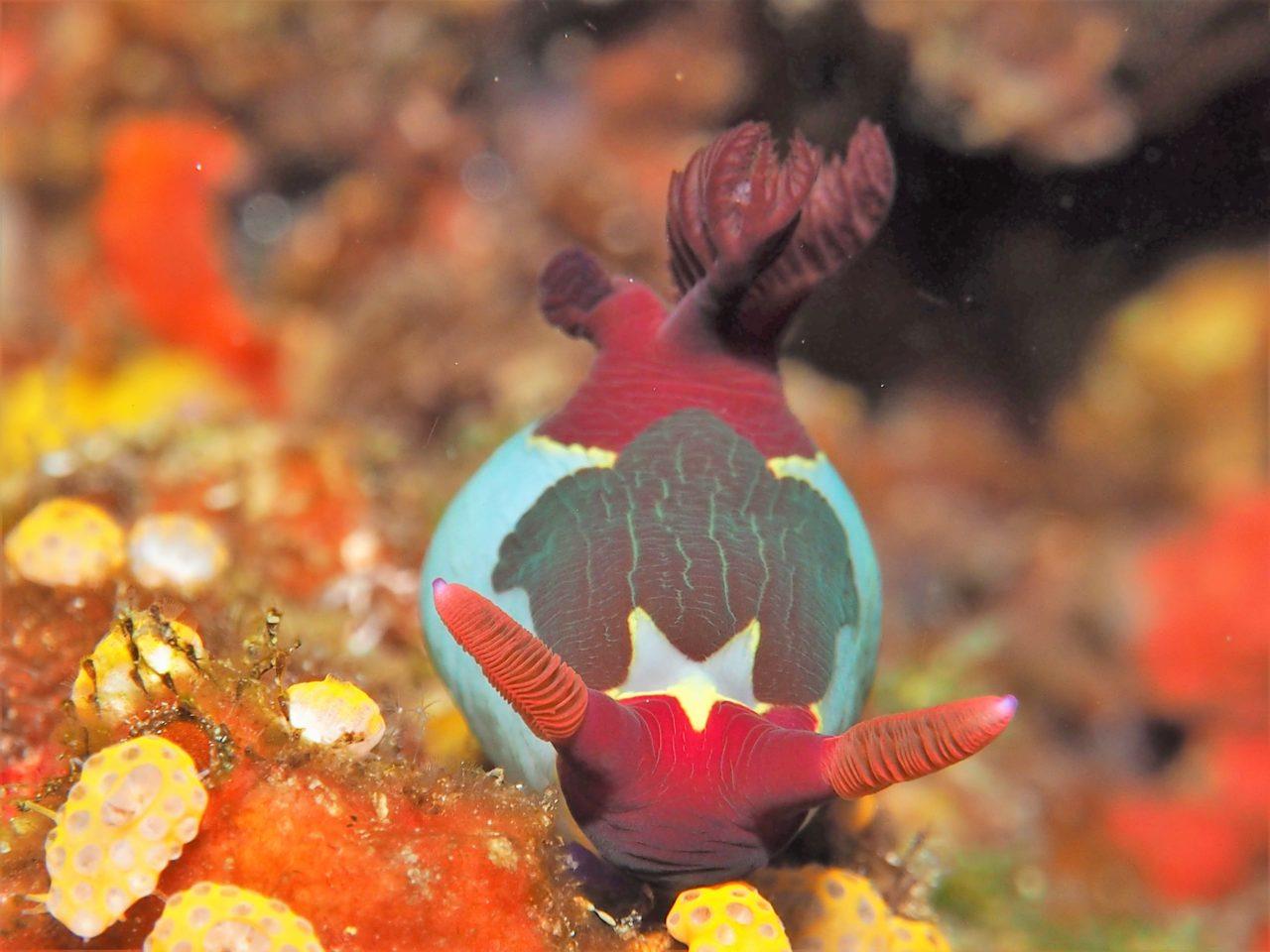 パミラカン島のセグロリュウグウウミウシ