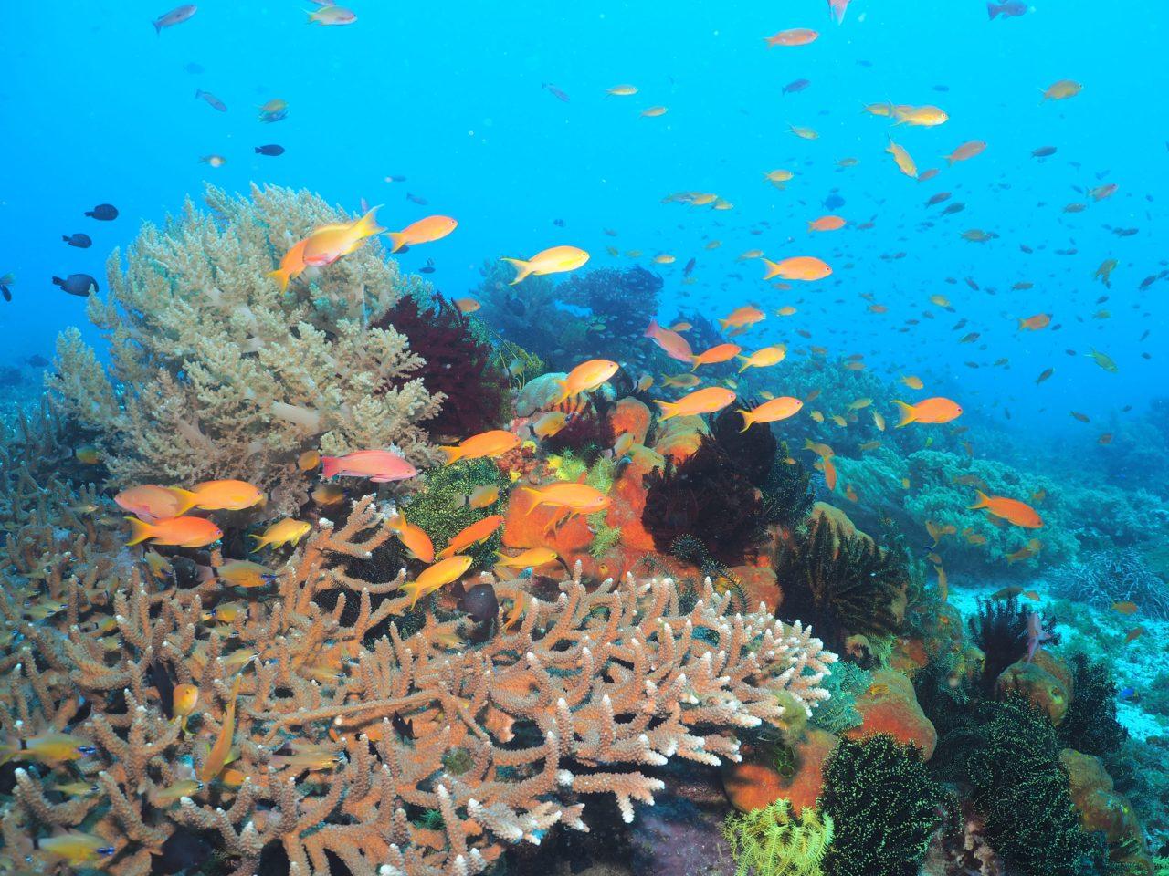 パミラカン島のサンゴに群れるハナダイとスズメダイ