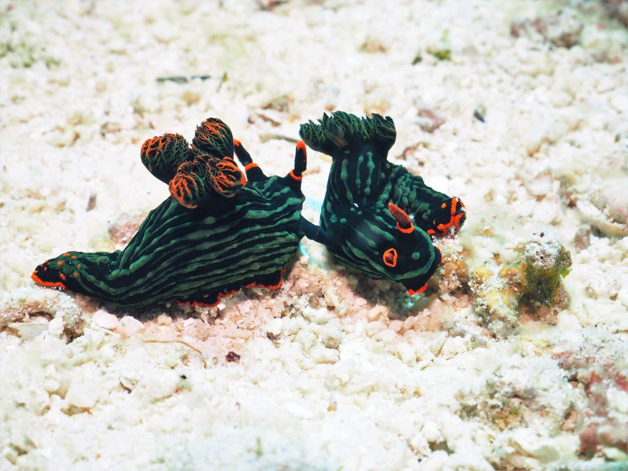 パングラオ島南のアカフチリュウグウウミウシ