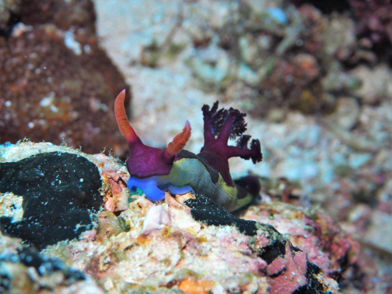 バリカサグ島のセグロリュウグウウミウシ
