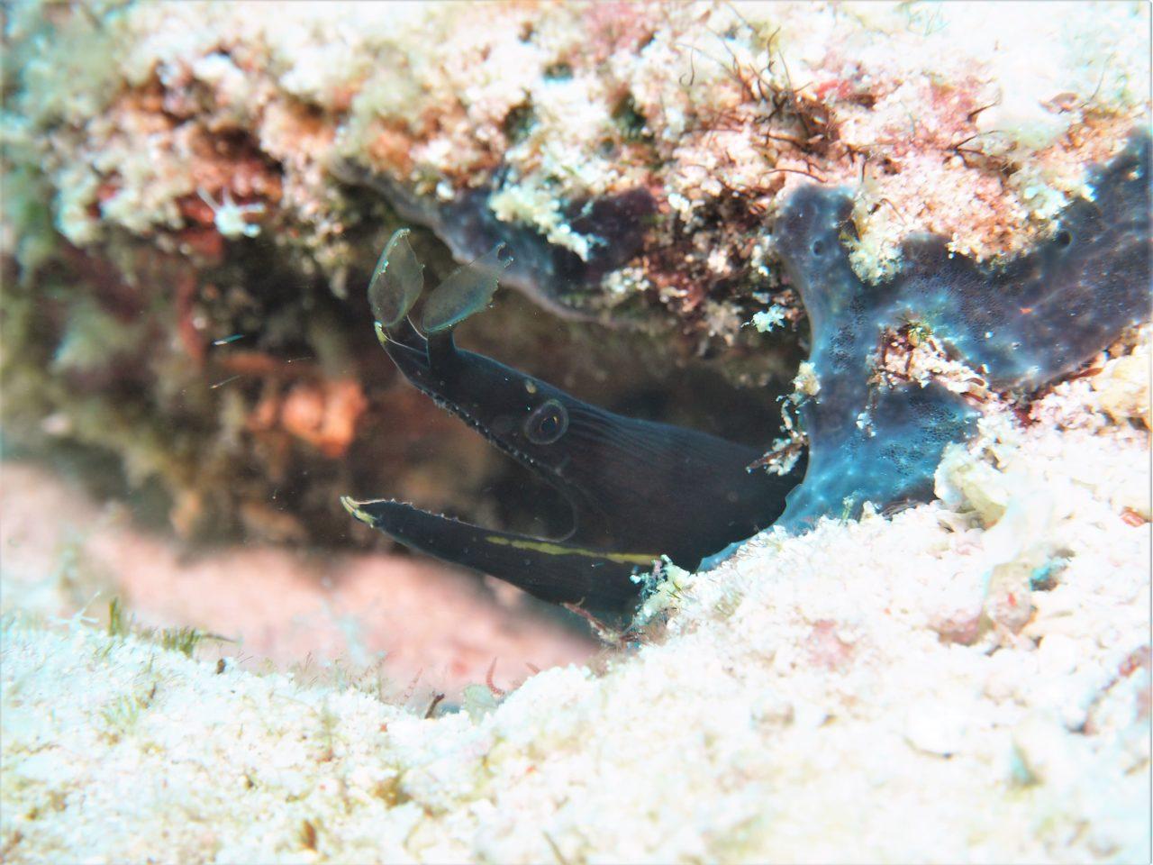 バリカサグ島のハナヒゲウツボ