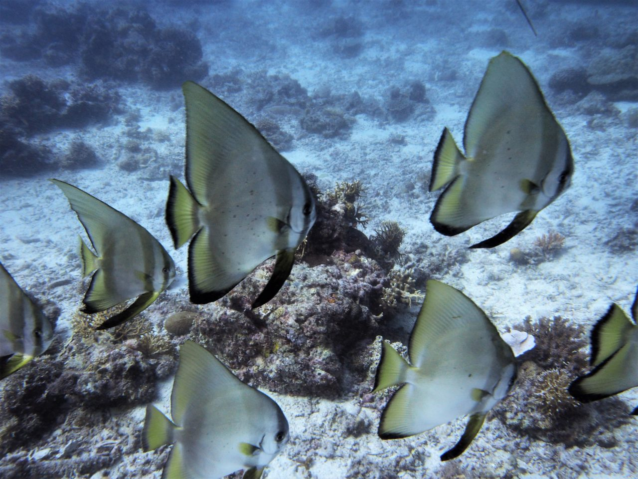 バリカサグ島のツバメウオ