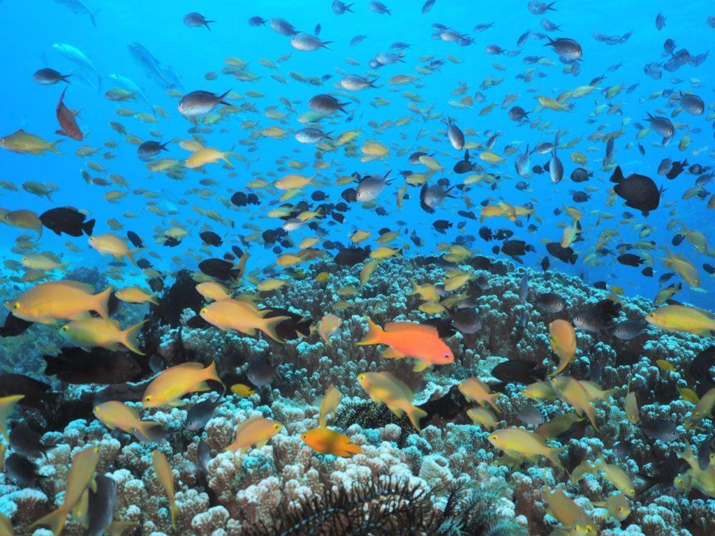 バリカサグ島のサンゴに群れる熱帯魚