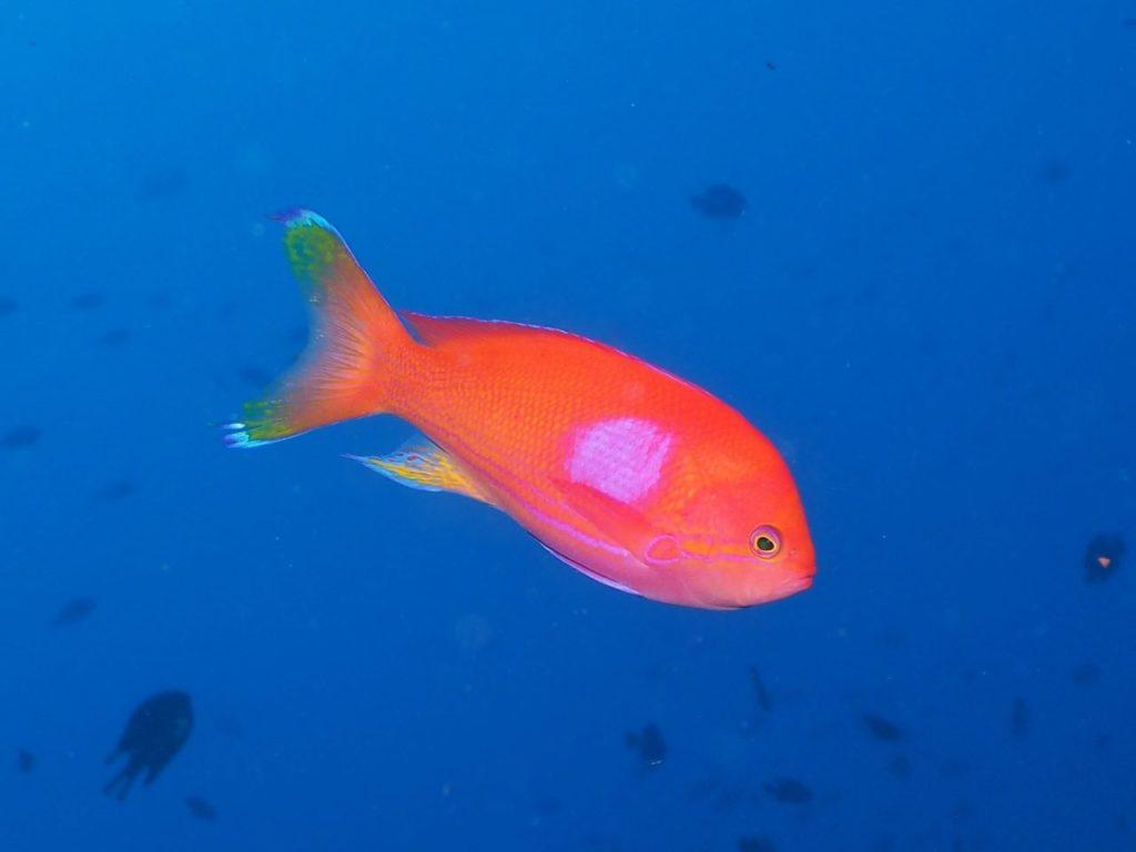 バリカサグ島のスミレナガハナダイ
